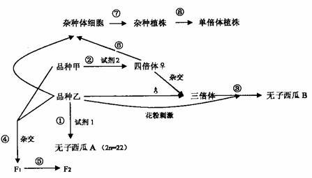 (1)二倍体西瓜子房发育成果实,与种子产生的