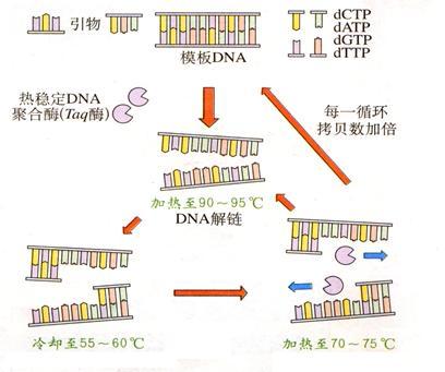 (16分) pcr是聚合酶链式反应的缩写,利用pcr技术可对目的基因进行扩增