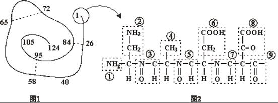 下面是某蛋白质的肽链结构示意图(图1,其中数字为氨基酸序号)及部分