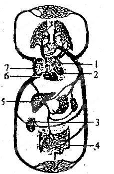 章节选题 七年级下册  下图是人体血液循环模式图.图片
