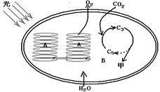(8分)下图为叶绿体结构与功能示意图,请据图回答图片
