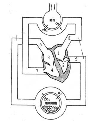分46   根据下面人体血液循环和气体交换示意图,回答下列问题图片