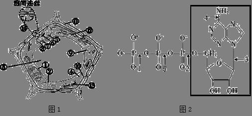(16分)下面图1是细胞亚显微结构模式图,图2是atp的分子结构式.