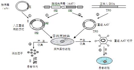 双突变菌株构建步骤