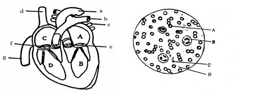 【推荐3】如图表示的是人体某些生理活动,其中~表示体内的生理过程,a~d表示某种或某类物质,请据图回答下列问题:  (1)若a是淀粉经过各种消化液中各种消化酶作用的最终产物,则a是______。 (2)表示营养物质的吸收过程,发生该过程的主要场所是______。 (3)表示的是_____与血液之间的气体交换过程。 (4)表示的是肾小球的______作用的生理过程;液体d表示_____。 (5)某人体检时发现d的成分中含有红细胞,即表现为尿血现象,如果是肾有疾病,则病变的部位可能是肾单位中的_____。