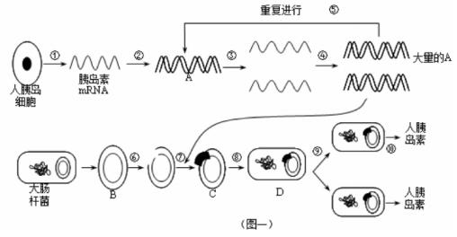 图一是利用基因工程技术生产人胰岛素的操作过程示意图,请据图作答.