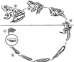 下面图是青蛙的发育过程图片