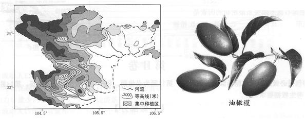 油橄榄原产于地中海沿岸