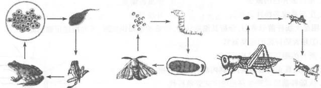 下图是青蛙,家蚕,蝗虫发育过程示意图,请联系所学知识