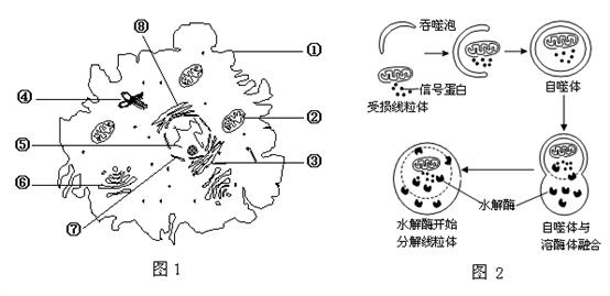 """下图1为高等动物细胞亚显微结构示意图,图2表示细胞通过""""自噬作用"""""""