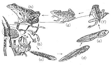 【题文】下图是青蛙的发育过程图,请根图回答下列问题: (1)蝌蚪像鱼图片