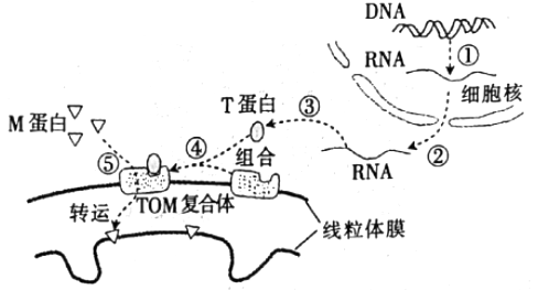 【题文】下图表示线粒体蛋白的转运过程,与细胞核密切相关.