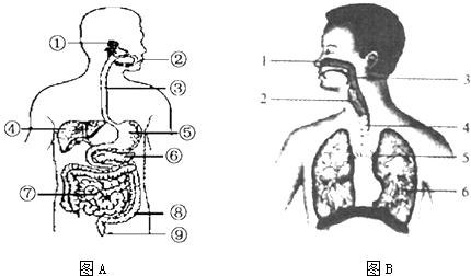 【题文】如图所示,图a为人体消化系统结构图,图b为人体呼吸系统结构图