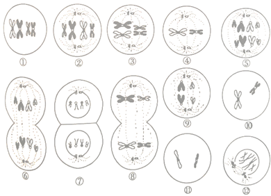 【知识点】 动物细胞有丝分裂的过程    有丝分裂过程中物质的变化
