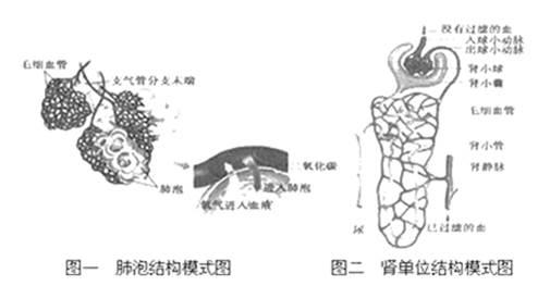 图一为肺泡结构模式图,图二为肾单位结构模式图,请据图回答下列问题