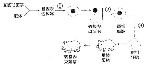 未来可以利用转基因克隆猪为人类提供能用于移植的器官.