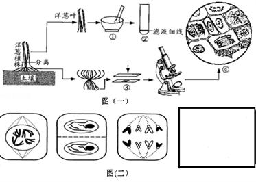 洋葱为中学生物实验常用材料之一,如图是与洋葱有关实验的部分步骤,请