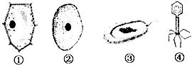 ①与②的主要区别是它有细胞壁,液泡和叶绿体等 c.图片