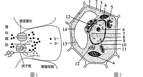 图2是胃酸形成过程中离子跨膜运输示意图.