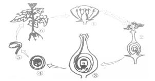 以下番茄生长发育过程示意图,请据图回答下列问题图片